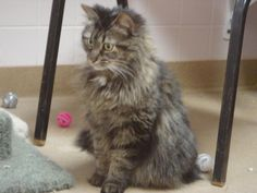 Gracie is a beautiful spayed female cat.  She is a long hair gray and black tabby that is also front declawed.  Poor kitty was not happy about coming here when she lost her home.  Gracie is very sweet and loves attention, but she detests even seeing...