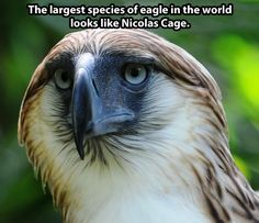 I bet you literally had NO CLUE that Nicolas Cage is also a rare species of eagle: Funny Animal Pictures, Funny Animals, Cute Animals, Nicolas Cage, Philippine Eagle, Rare Species, Endangered Species, Mundo Animal, Animal Memes