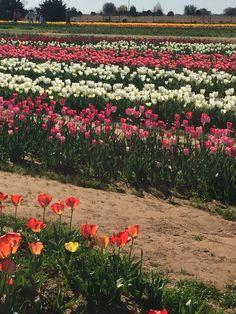 Texas-Tulips, Pilot Point Texas