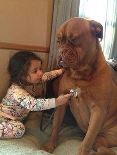 Dogue de Bordeaux with a toddler playing vet.  ♥
