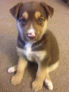 Labrador German Shepherd Husky Mix