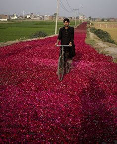 A Pakistani cyclist rides on a street covered with rose-petals spread by wholesale dealers for dry them to supply in market, Sunday, April 10, 2011 in outskirt of Lahore, Pakistan.