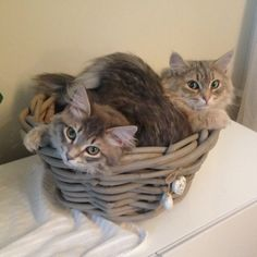 Lucy & Linus, our two adorable Siberian cats