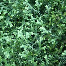 Meadow Spikemoss for sale buy Selaginella apoda