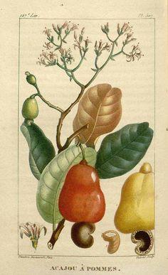 92376 Anacardium occidentale L. / Descourtilz, M.E., Flore médicale des Antilles, vol. 7: t. 507 (1829) [J.T. Descourtilz]