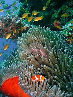 Brilliantly colored clown fish and damsel fish swimming in a pristine tropical coral reef by Tommy Schultz Underwater Creatures, Underwater Life, Ocean Creatures, Beneath The Sea, Under The Sea, Fauna Marina, Sea Anemone, Sea And Ocean, Fish Ocean