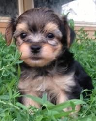 Cody is an adoptable Yorkshire Terrier Yorkie Dog in Overland Park, KS. Cody is an 8 week old male Yorkie / Chinese Crested mix. His mom is a yorkie and dad is a Chinese crested. Cody is the most shy ...Please click on pic for additional info on this fur baby