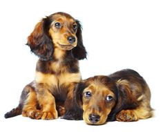 Dachshunds Are ADORABLE