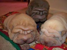 Multi cultural shar pei puppies