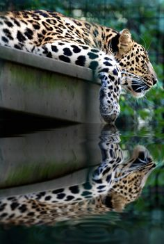 Transparency reflecting the leopard as it leans over the edge of the water. The flawless reflection of the water gives a mirror like reflection. I Love Cats, Big Cats, Cats And Kittens, Beautiful Cats, Animals Beautiful, Cute Animals, Wild Animals, Stunningly Beautiful, Gato Grande