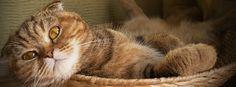 Шотландский вислоухий кот (фото): комок счастья  Смотри больше http://kot-pes.com/shotlandskij-vislouxij-kot-foto-komok-schastya/