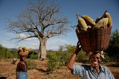 Harvesting Baobab Fruit