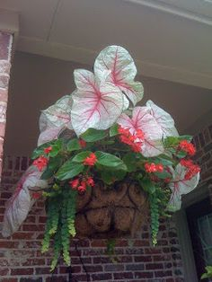 For Shade: (hanging basket) Caladium 'White Queen' Dragonwing Begonia (red) Creeping Jenny Container Flowers, Container Plants, Container Gardening, Gardening Tips, Balcony Plants, Potted Plants, Shade Plants, Blooming Plants, Hanging Baskets