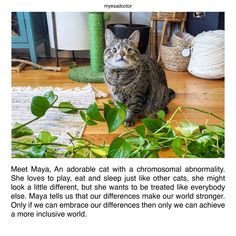 To read maya's story click here Emotional Support Animal, Cute Cats, Maya, Love Her, Animals, Pretty Cats, Animales, Animaux, Animal