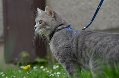 Can You Teach A Cat To Walk On A Leash?