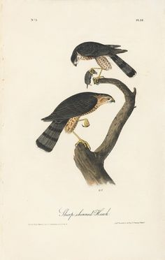 Octavo First Edition, circa 1839, Plate: 25 Sharp-skinned Hawk
