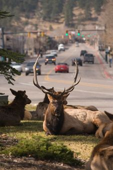 Elk relaxing in Estes Park Colorado. Have already been a couple times, but we love Estes Park and RMNP Colorado Springs, Le Colorado, Estes Park Colorado, Living In Colorado, Colorado Homes, Colorado Mountains, Rocky Mountains, Great Places, Places To See