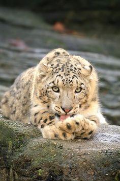 Leopardo de las nieves - Animal -> Por: Angel Catalán Rocher! CLICK -> pinterest.com/AngelCatalan20/boards/ <- Sígueme!
