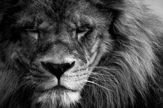 lion by gonzalezlapeira