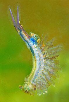 Image result for fairy shrimp Weird Sea Creatures, Ocean Creatures, Amphibians, Reptiles, Glass Aquarium, Aquarium Ideas, Cherry Shrimp, Nano Tank, Sea Slug