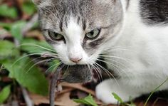 Cats Are Better Than Dogs : Society of Cat People : Animal Planet cats enjoy bringing gifts to their loved ones.