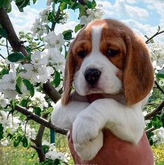 Cute Beagles, Cute Puppies, Cute Dogs, Dogs And Puppies, Animals And Pets, Baby Animals, Cute Animals, Cute Animal Pictures, Dog Pictures