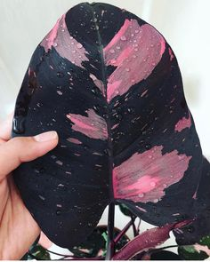 Philodendron erubescens pink princess – - All About Cool Plants, Potted Plants, Garden Plants, Indoor Plants, Indoor Gardening, Conservatory Plants, Vegetable Gardening, Plantas Indoor, Belle Plante