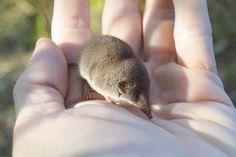 Musaraña común: Es uno de los mamíferos más pequeños, mide unos 35 a 50 mm, una cola de 2-3 cm, y un peso 1,8 a 3 g. Su pelo es suave de un tono gris oscuro en la zona dorsal y gris claro en la ventral. El periodo de reproducción suele darse en los meses de febrero y septiembre.La gestación tiene una duración aproximada de entre 27 y 33 días, normalmente menos de 30, y tras ese periodo se produce unos de los 3 o 4 partos anuales en el que pueden nacer entre 2 y 8 crías.