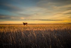 Lone cow in a field framed between barbed wires on fence in the sunset. Fine Art Prints, Canvas Prints, Barbed Wire, Fence, Cow, Craft Ideas, Sunset, World, Outdoor
