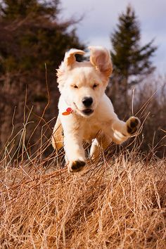 Great action shot of a golden retriever puppy!   Photo from Flickr member ghettosigma.  Pet Photography | Dog | Puppies