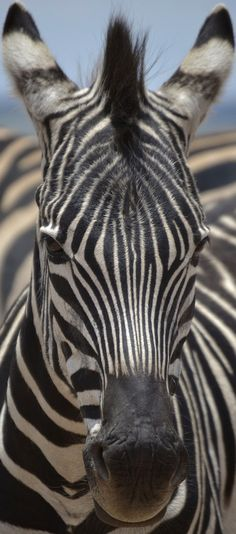About Wild Animals: Picture of a zebra face Zebra Pictures, Cute Animal Pictures, Animals And Pets, Funny Animals, Cute Animals, Wild Animals, Horse Outline, Zebra Face, African Cichlids