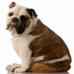 English Bulldogs: What's Good About 'Em? What's Bad About 'Em?