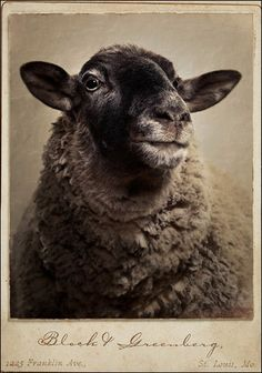 -the old couple remained childless, so every year they had a portrait of their beloved sheep made.