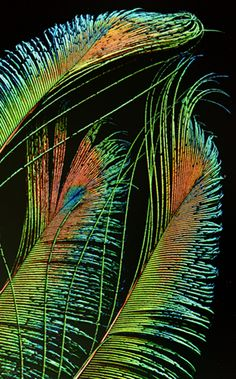 Peacock Feathers.. Jai shri Krishna..