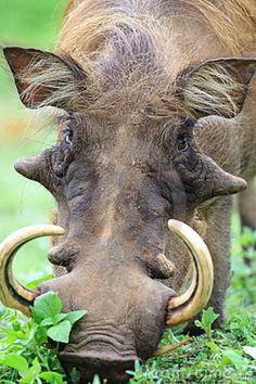 http://thumbs.dreamstime.com/z/male-warthog-grazing-savanna-ghana-21621343.jpg
