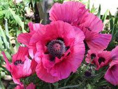 Oriental Poppy Raspberry Queen - Google Search