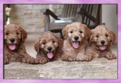 ...precious miniature goldendoodle puppies