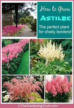 Tips for Growing Astilbe Astilbe is the perfect flowering plant for shady garden spots. It has plume like flowers that cluster over the top of delicate leaves and add so much to the surrounding shade plants. see how to grow it on Garden Shrubs, Garden Pests, Lawn And Garden, Garden Landscaping, Garden Shade, Backyard Shade, Big Garden, Fenced Garden, Shade Landscaping