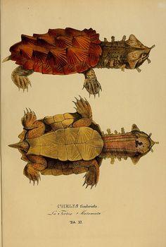 Species novae Testudinum quas in itinere annis 1817-1820  Monachii :Impensis Editoris,1838.  biodiversitylibrary.org/item/25032