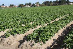 Dis tu connais les pommes de terre primeur de Noirmoutier ? pommes de terre accompagnements Vineyard, Plants, Outdoor, Side Dishes, Apples, Outdoors, Vine Yard, Vineyard Vines, Plant