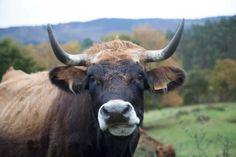 Vaca Frieiresa