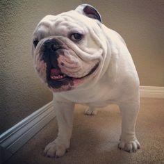 Shine bright like a diamond #englishbulldog #igbulldogs_worldwide #bulldog #bullylife #bulldogsofinstagram #squishyfacecrew #puppy #instabulldog #igbulldogs_socal #motivationalmondays #makua_hanahou #Padgram