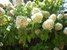 Bármennyire is szépen mutat a hortenzia virágüzletben, tudnunk kell, hogy cserépben nem lesz hosszú életű, mert nem szobanövény. A számára kedvező, hűvös, szellős környezet a mai lakáskörülmények között aligha biztosítható. Ültessük ki a kertbe, és máris megmentettük! http://kertlap.hu/kerti_hortenzia/