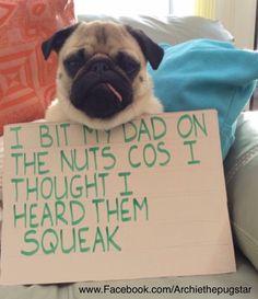 Pug funny