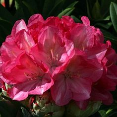 Rhododendron 'Fantastica' 3L: Position: Sun / ShadeSoil: Fertile, Acidic, Moist well-drained and humus richFlowering Period:May / JunePot Size: 3 Litr