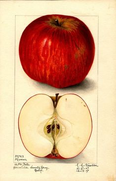 Hoover apple painting part of the Pomological collection free to download along with many other fruit illustrations