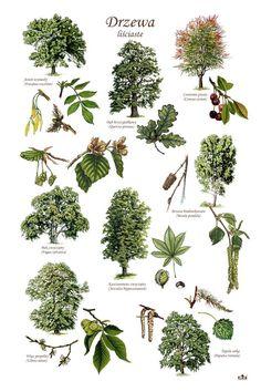 TE-85 - Laubbäume Plant Illustration, Botanical Illustration, Botanical Drawings, Botanical Prints, Trees And Shrubs, Trees To Plant, Tree Study, Tree Identification, Foliage Plants