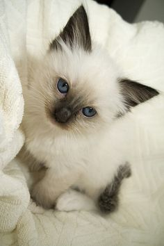 A pretty kitty<3 Love its delicate blue eyes!