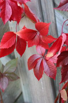 Buy virginia creeper Parthenocissus quinquefolia: Delivery by Crocus Cactus, Cute Wallpapers For Ipad, Virginia Creeper, Clematis Vine, Climbing Vines, Wishing Well, Trees And Shrubs, New Leaf, Fall Flowers