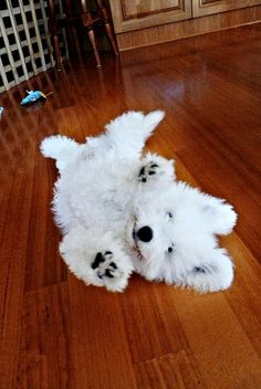 bichon rolling around